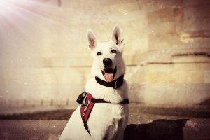 Greif emerytowany pies ratowniczy