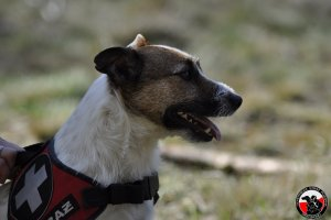 Posłuszeństwo psów ratowniczych - video