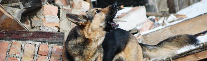 Jak pracują psy ratownicze